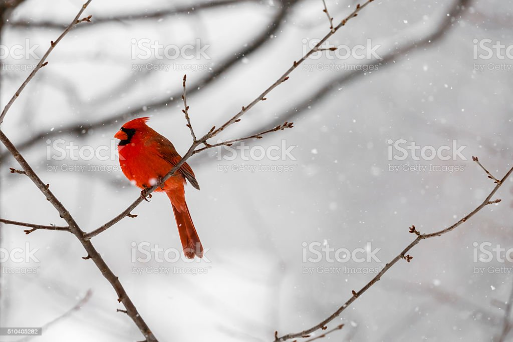 Male Northern Cardinal (Cardinalis cardinalis) In a Blizzard stock photo