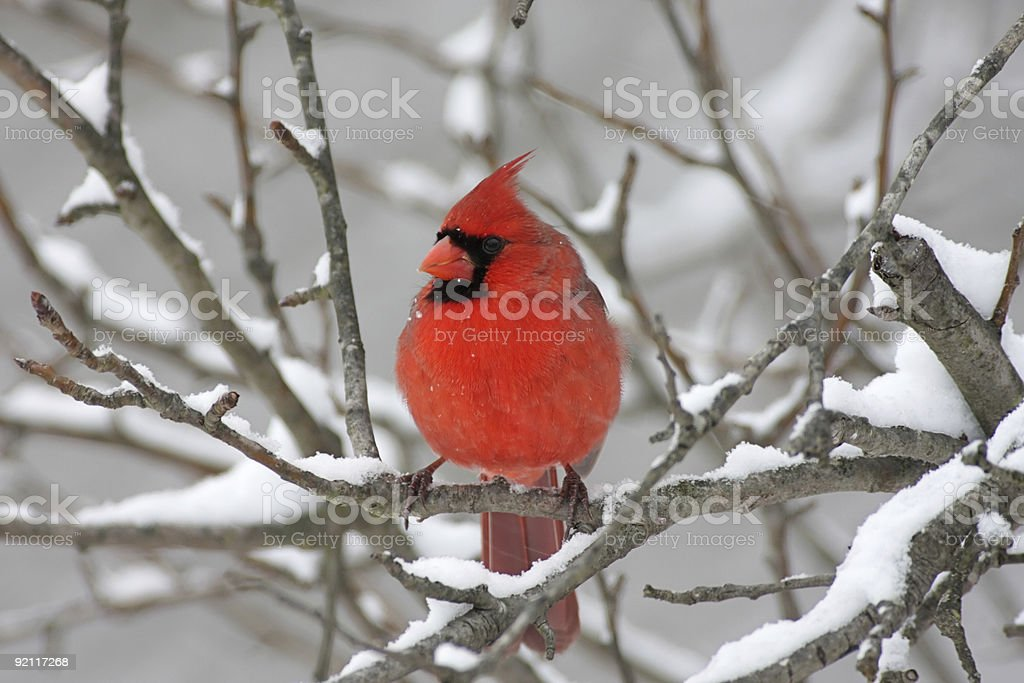 Male Northern Cardinal in a snow storm royalty-free stock photo