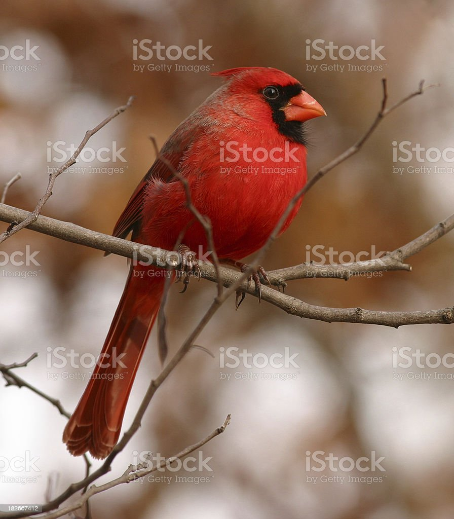 Male Northern Cardinal royalty-free stock photo