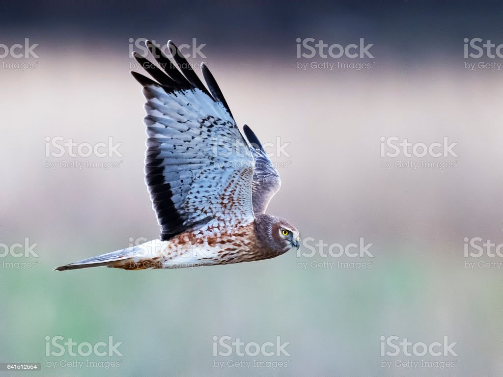 Male Northern Harrier Hawk in Flight stock photo