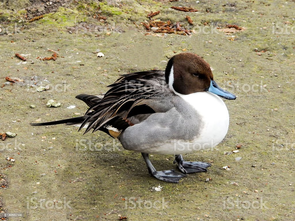 Male Northern Pintail royalty-free stock photo