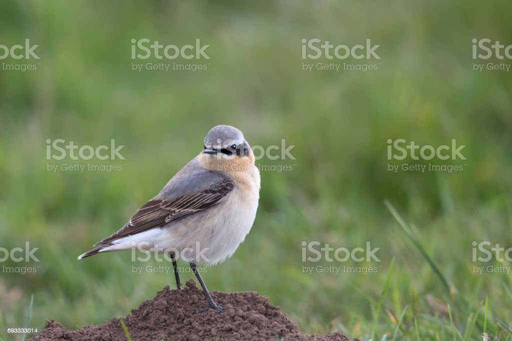 Male Northern Wheatear perched on mole hill stock photo