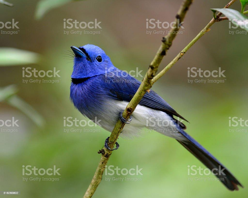 Male of Black-naped monarch or black-naped blue flycatcher (Hypo stock photo