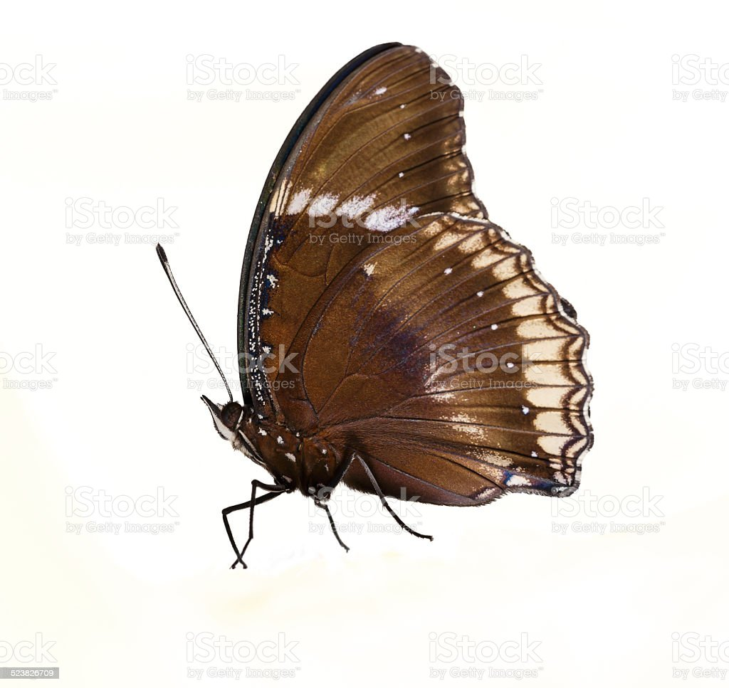Male of great eggfly butterfly stock photo