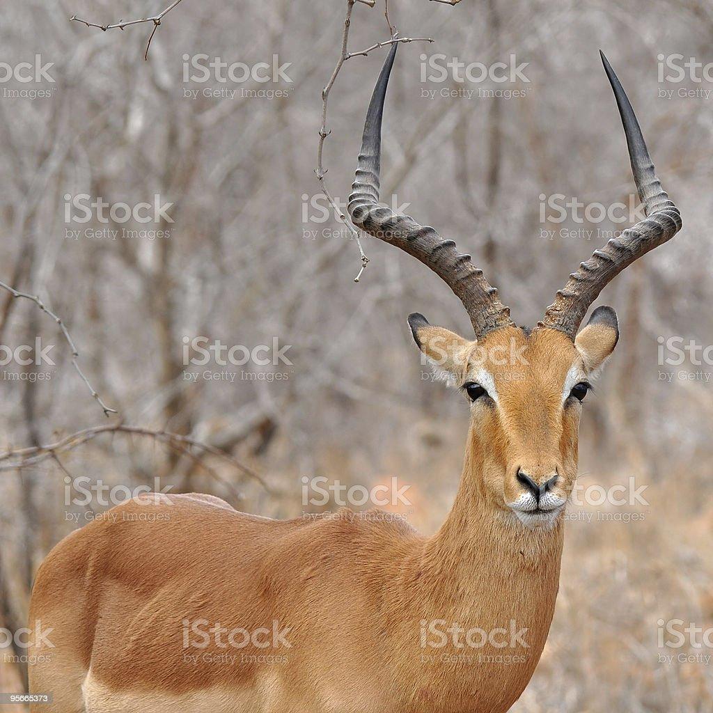 Male of impala gazelle stock photo