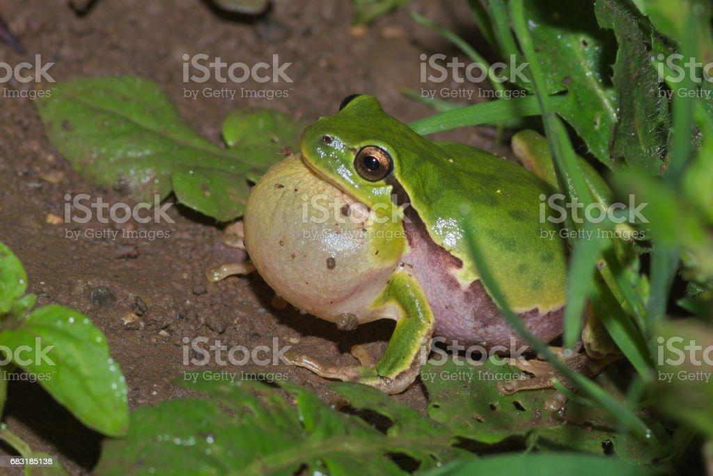 Male of Italian tree frog (Hyla intermedia) stock photo