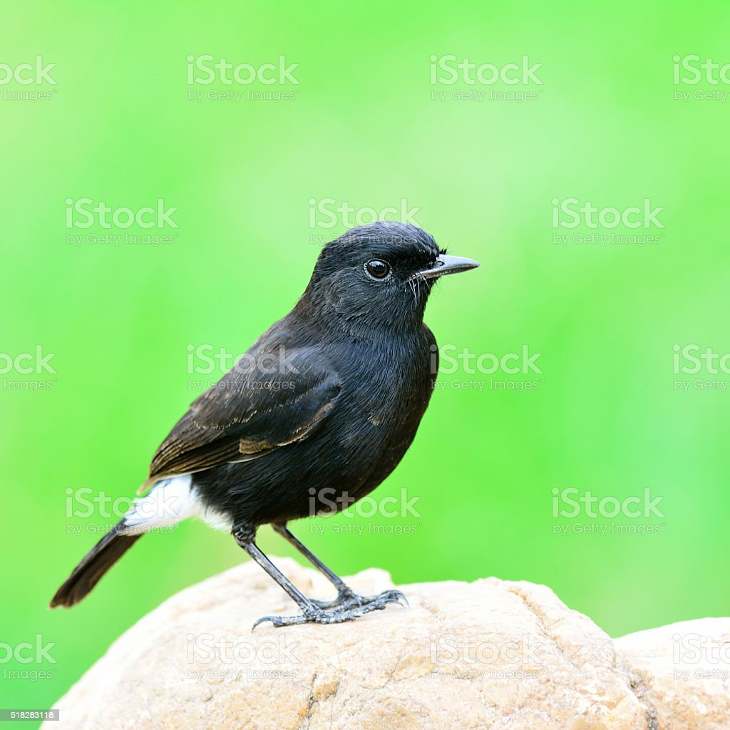 Male of Pied Bushchart, the black bird loneyly standing on stock photo