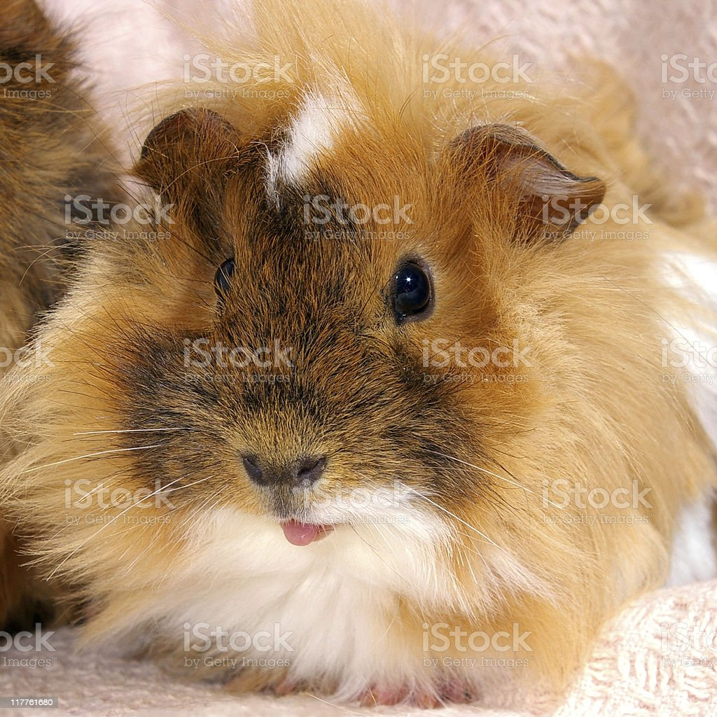 Male of the guinea pig. royalty-free stock photo