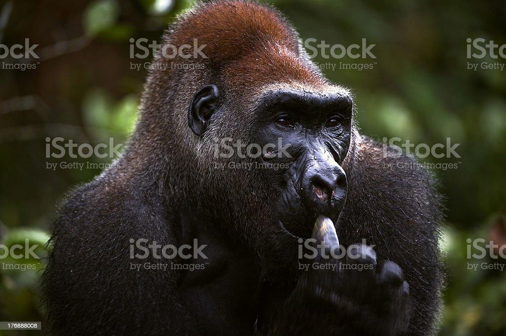 Male of Western Lowland Gorilla royalty-free stock photo