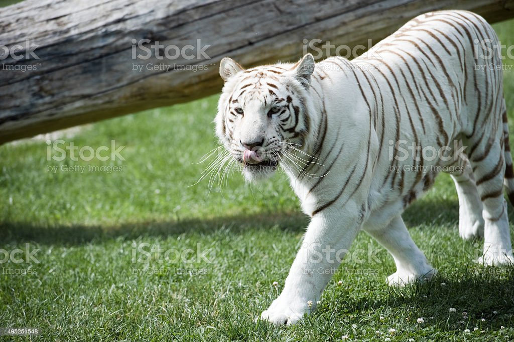 Male of white Bengal tiger in captivity stock photo