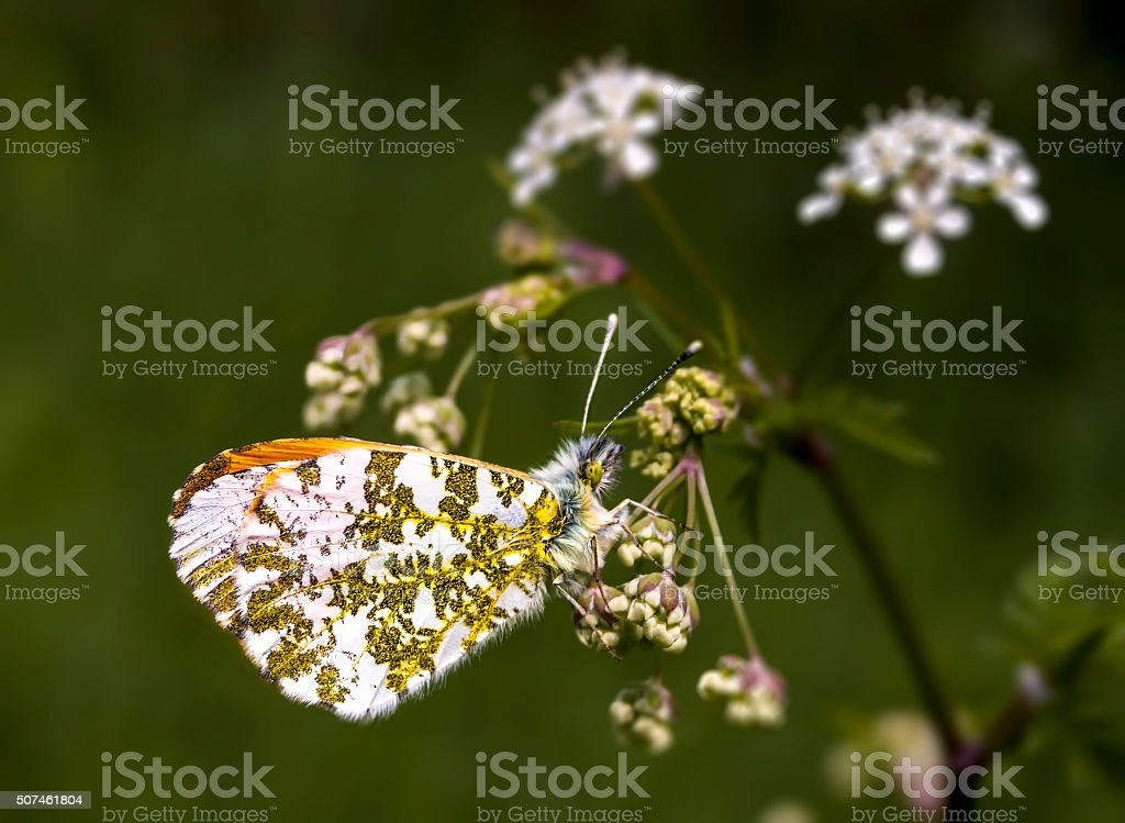 Male Orange Tip Butterfly, Anthocharis cardamines royalty-free stock photo