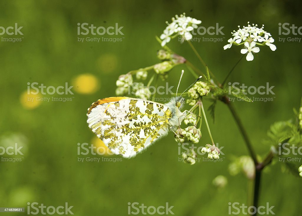 Male Orange Tip butterfly nectaring royalty-free stock photo
