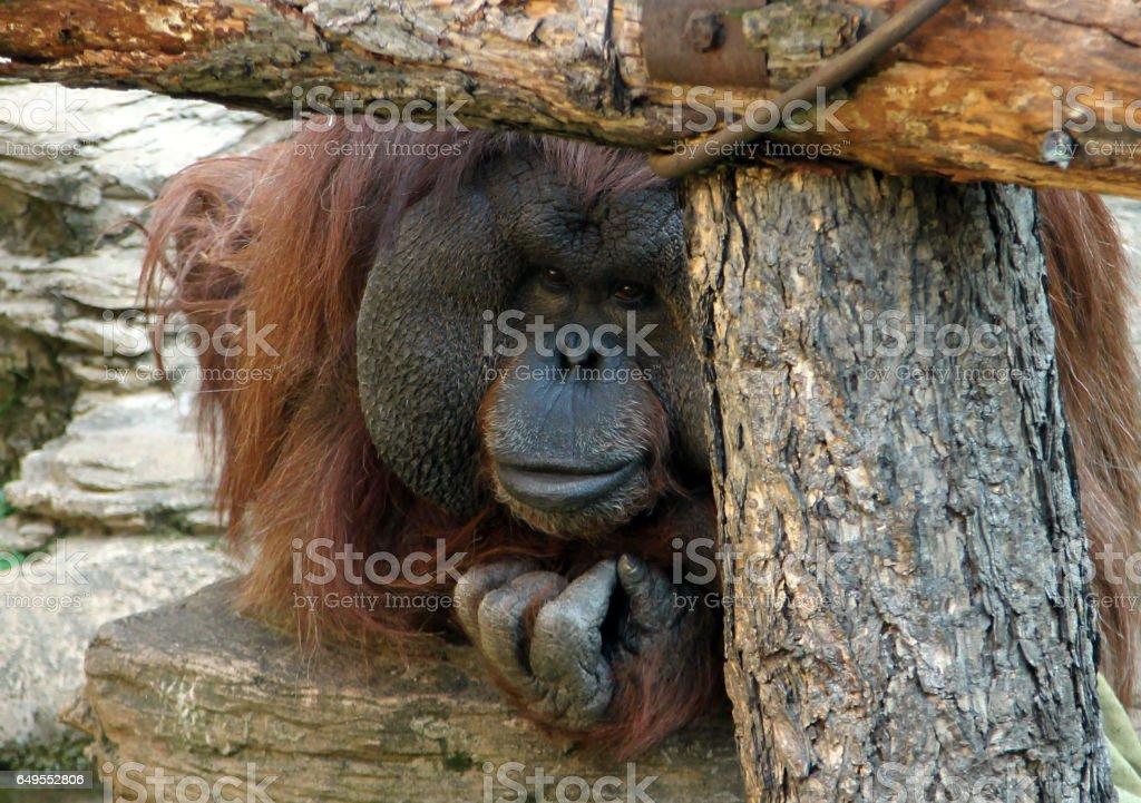 male orangutan stock photo