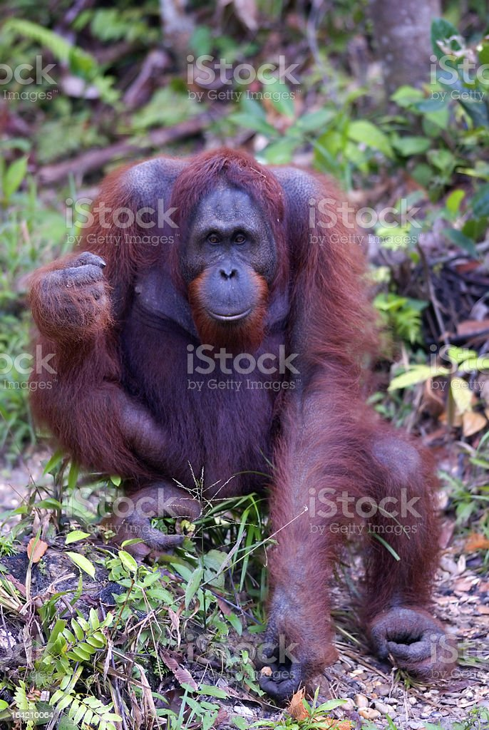 Male orangutan, Semenggoh, Borneo, Malaysia royalty-free stock photo