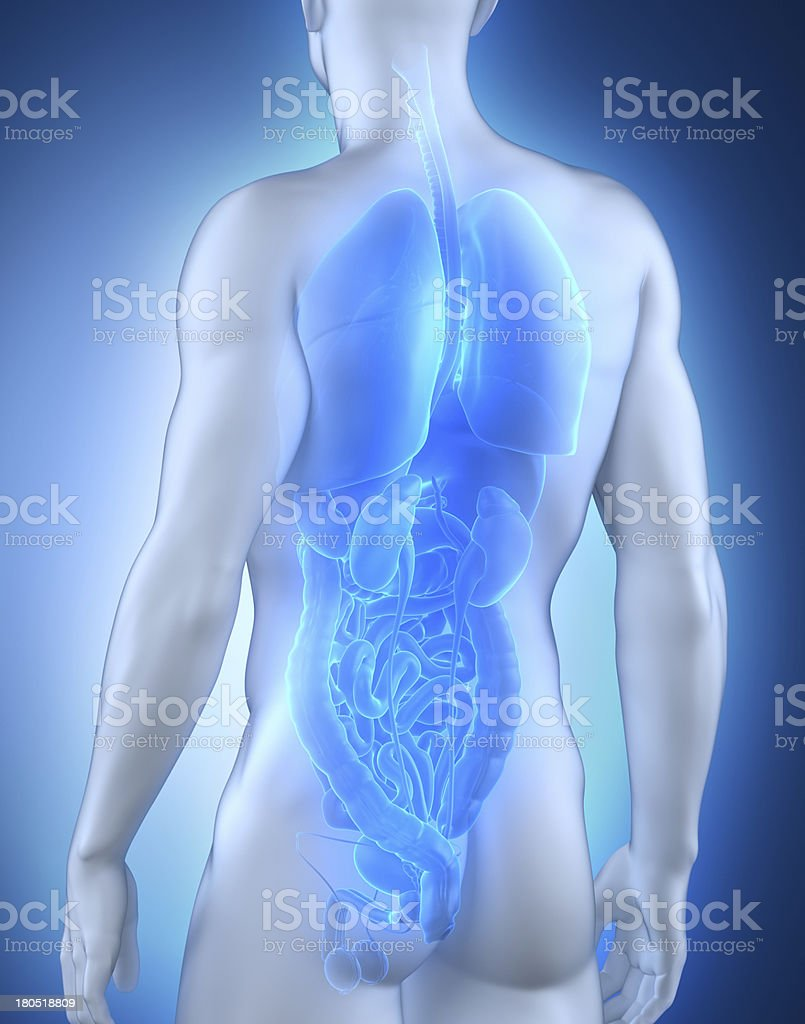 Male organs anatomy posterior view royalty-free stock photo