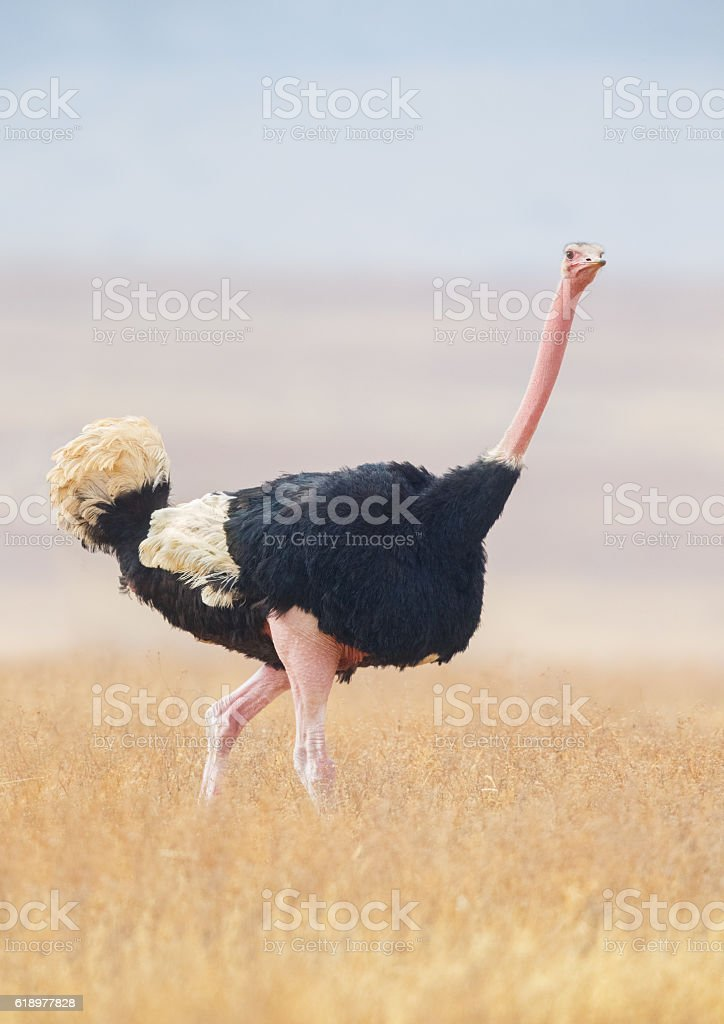 Male Ostrich striding across the Ngorongoro Savanna, Tanzania Africa stock photo