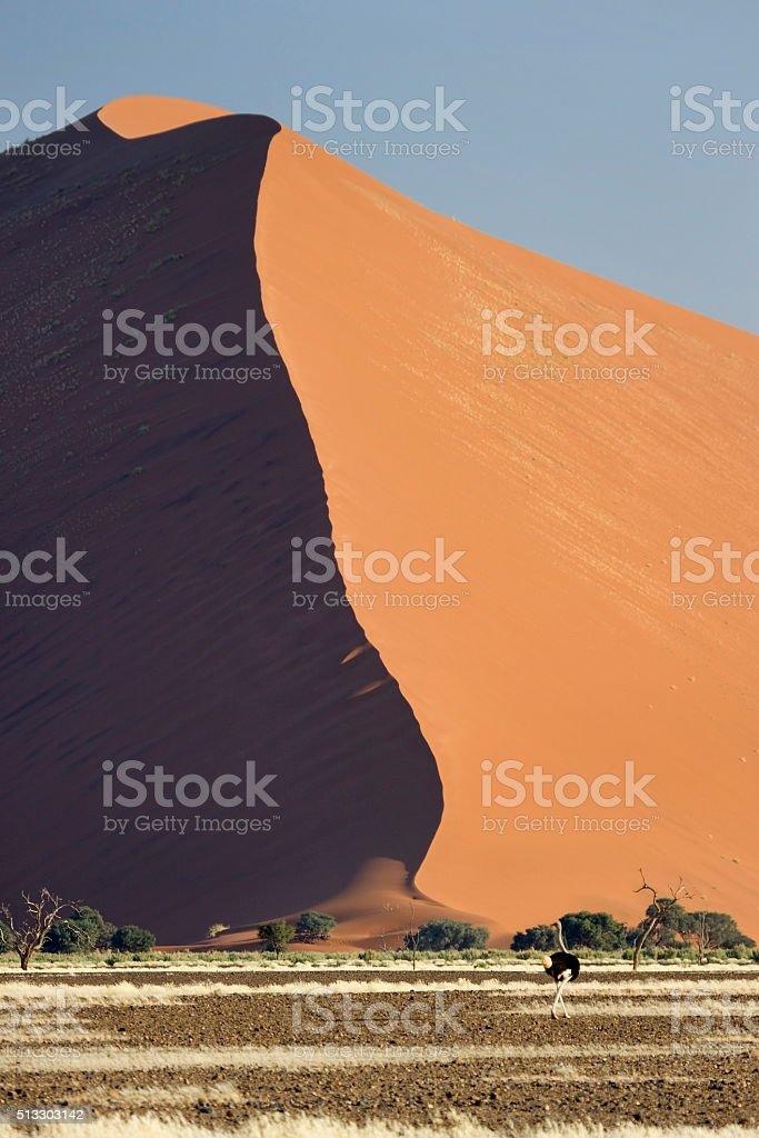 Male ostrich walks Namib Desert sand dunes Namibia stock photo