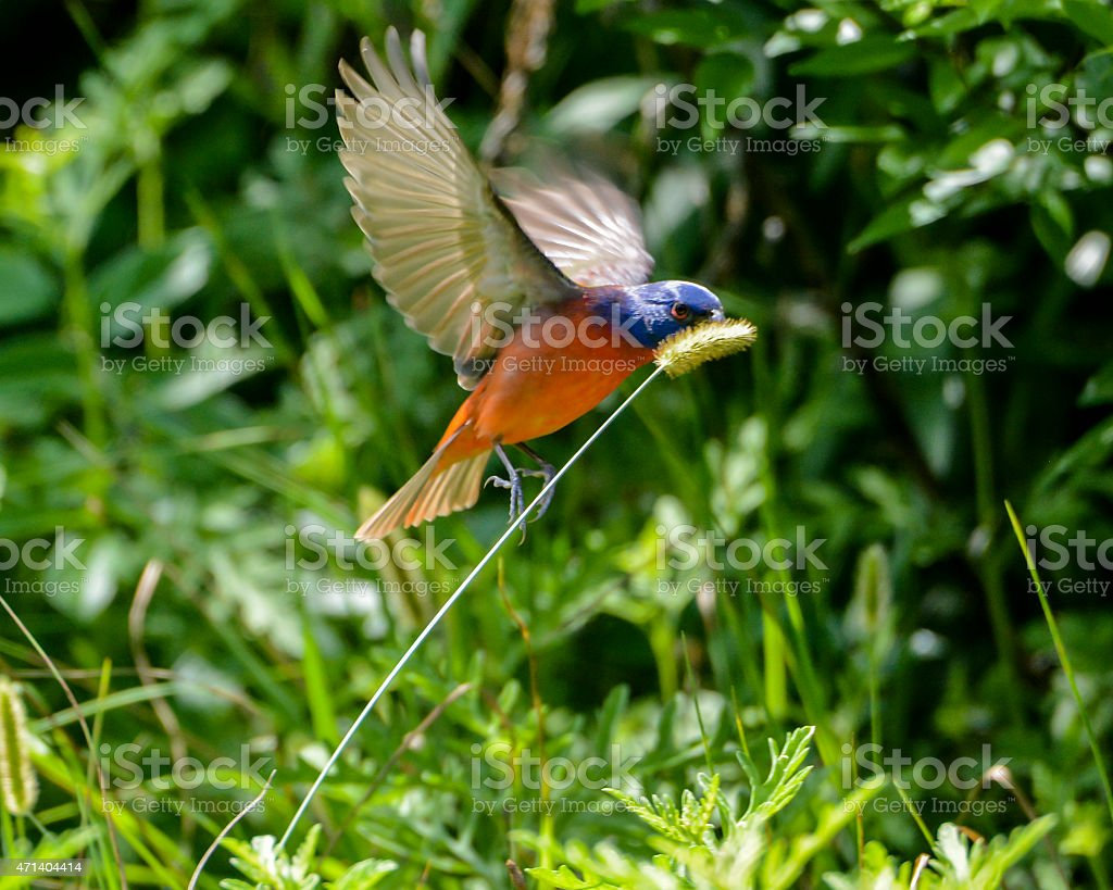 Male Painted Bunting In flight To Get Seeds stock photo