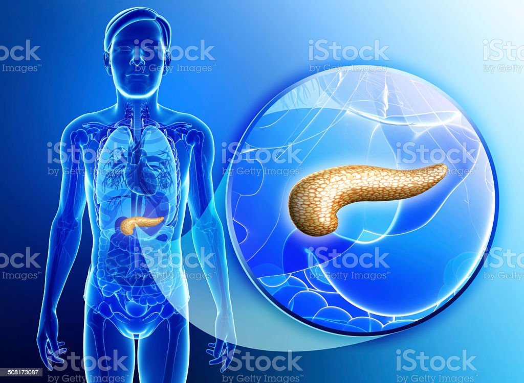 Male pancreas anatomy stock photo