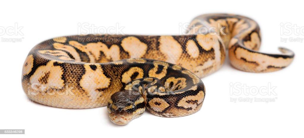 Male Pastel calico Python, Royal python or ball python stock photo