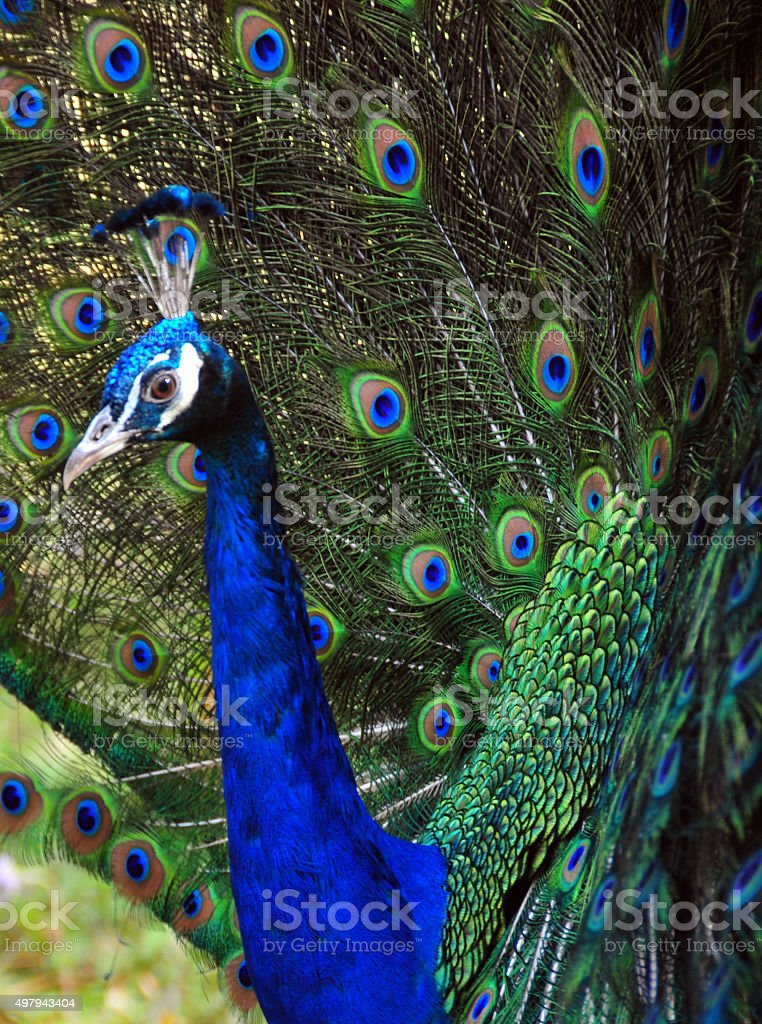 Male Peacock, close up stock photo