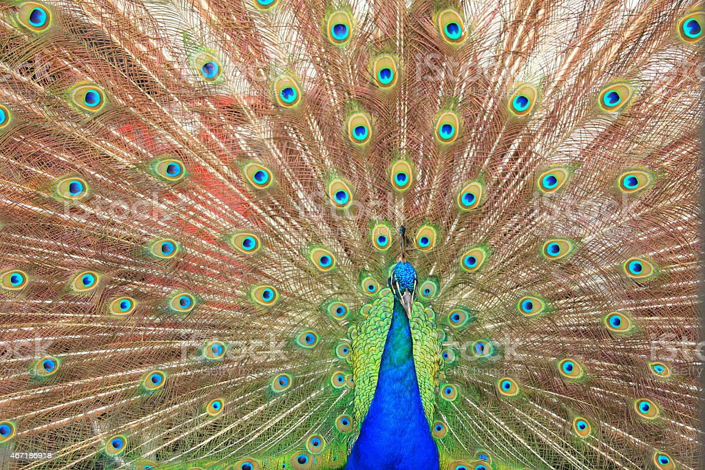 Male Peacock Courtship stock photo
