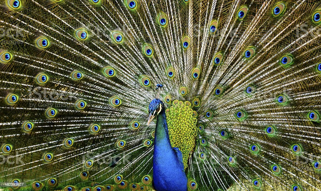 Male peacock in full display -XXXL royalty-free stock photo