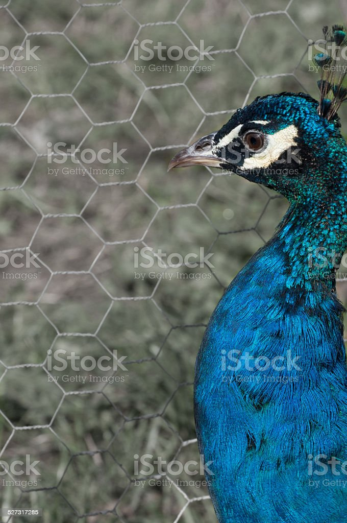 male peacock (Pavo Cristatus) looking to the left royalty-free stock photo