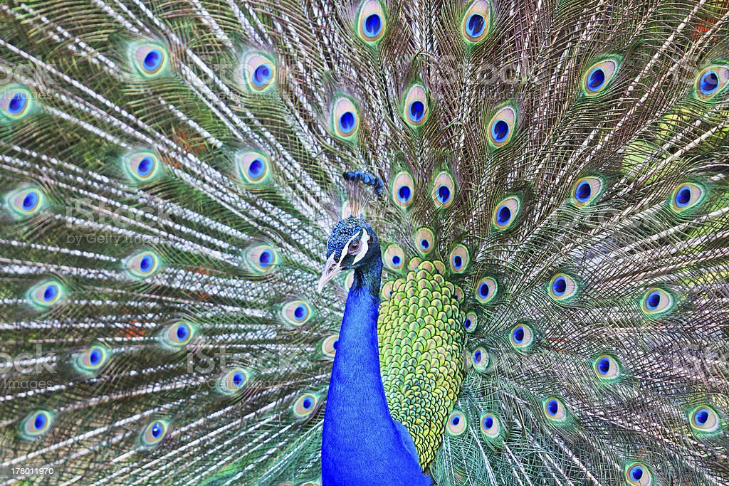 Male peacock royalty-free stock photo