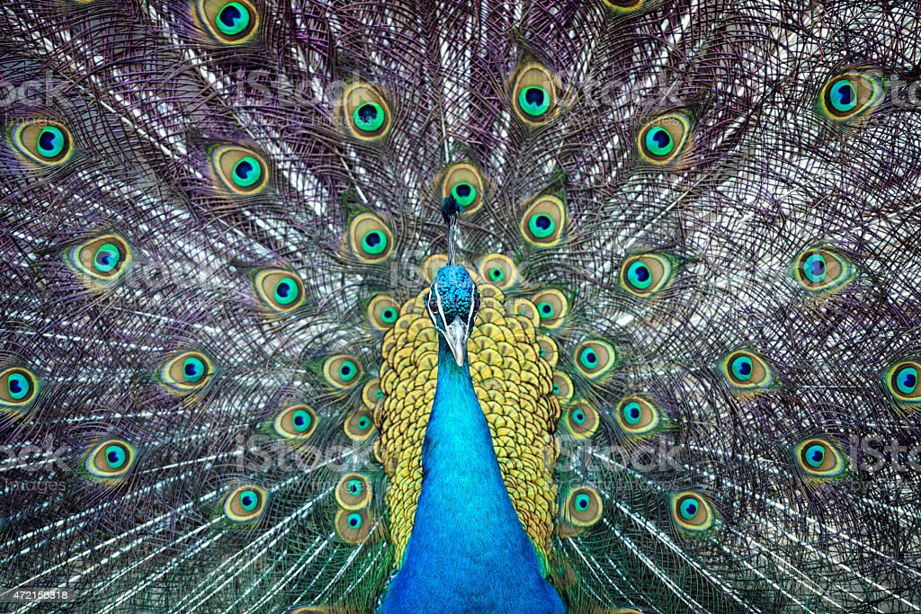 male peacock with beautiful feathers stock photo