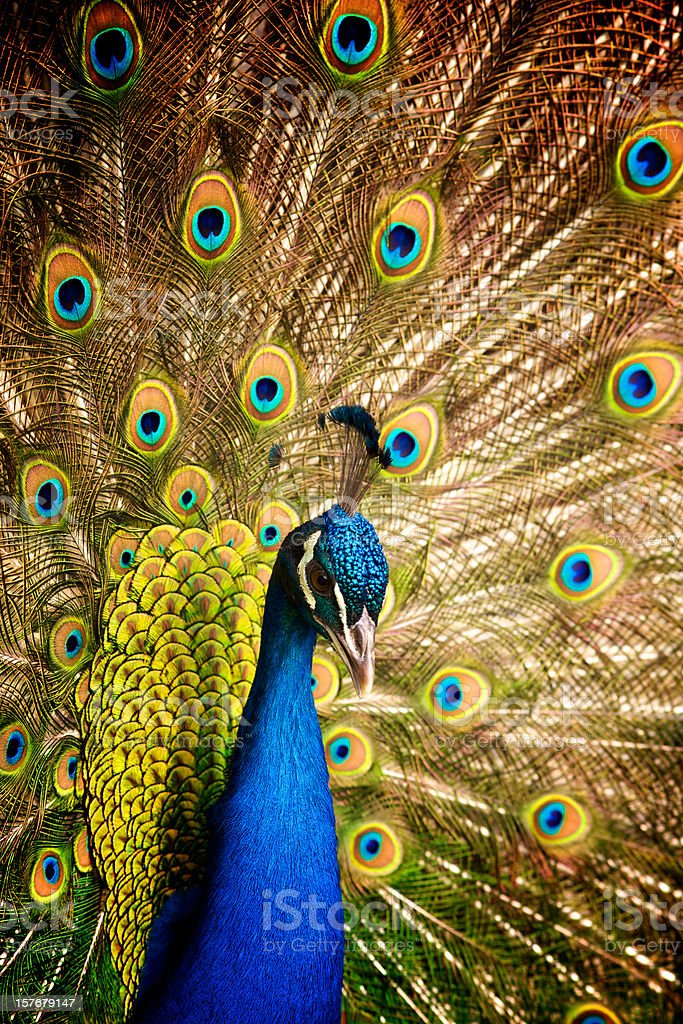male peacock with its tale wide open stock photo