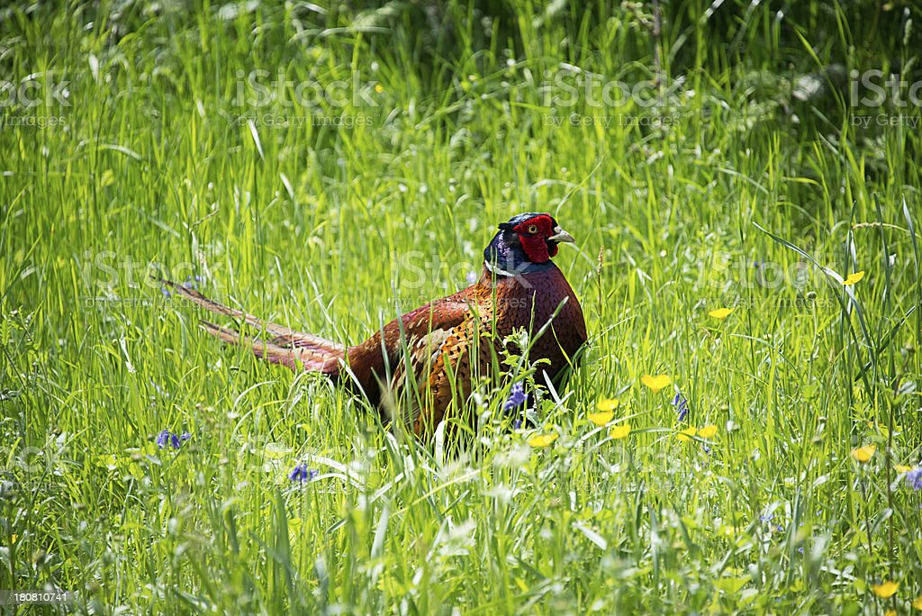 Male Pheasant sits among the long green grass royalty-free stock photo
