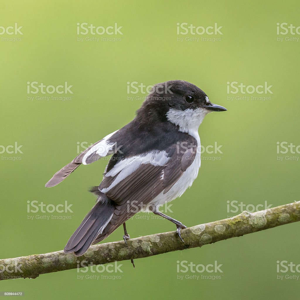 Male pied flycatcher lifts its wing stock photo