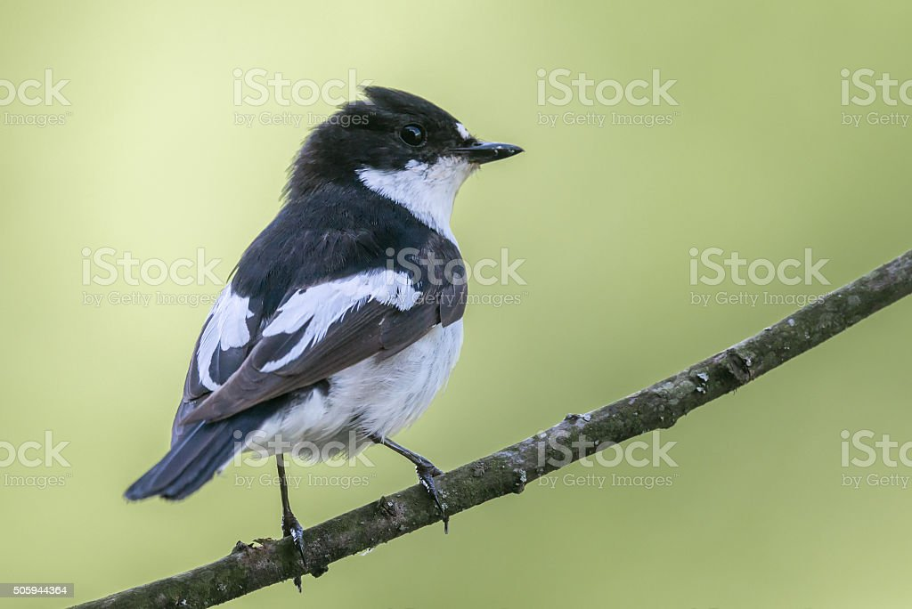 Male pied flycatcher perching stock photo