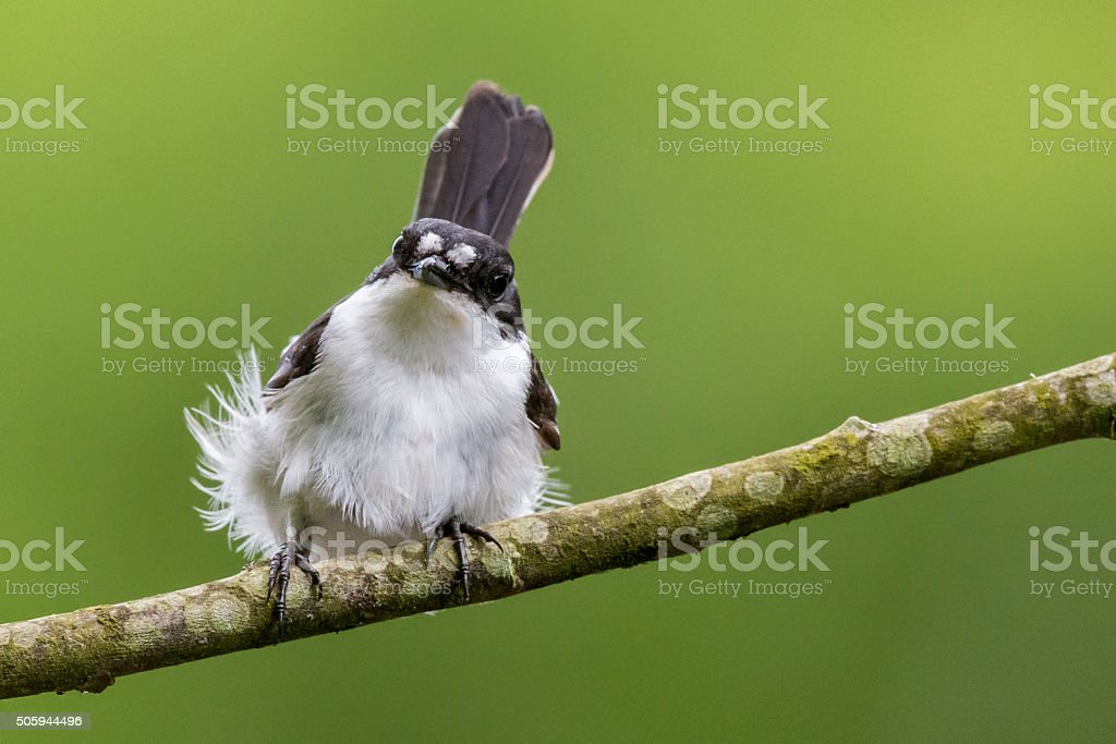 Male pied flycatcher with ruffled feathers stock photo