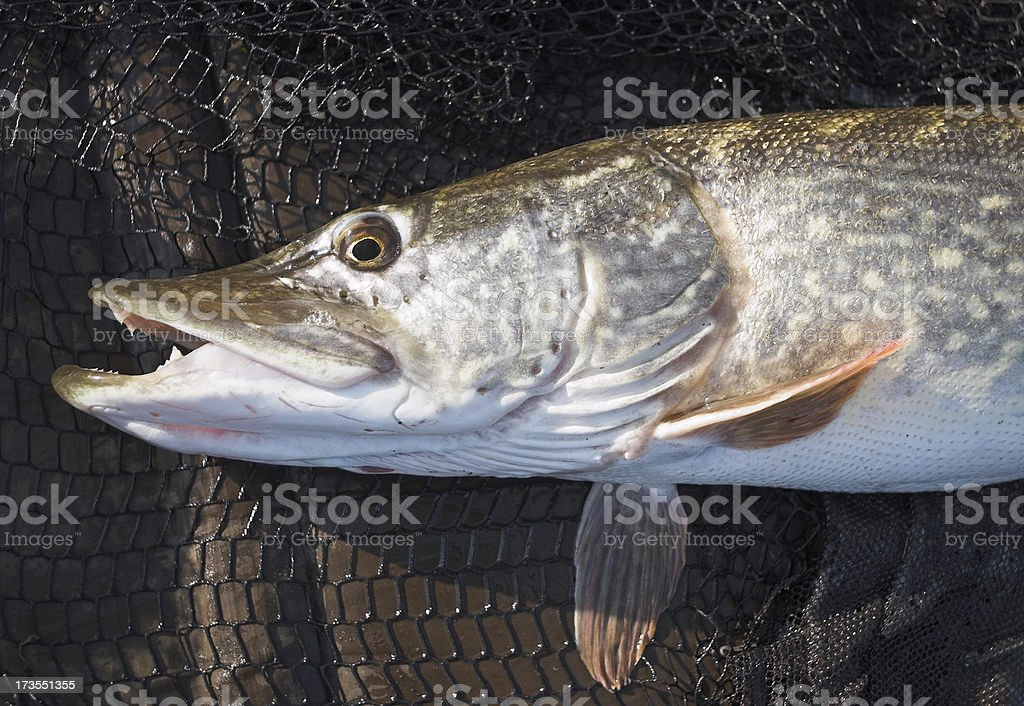 Male pike portrait royalty-free stock photo