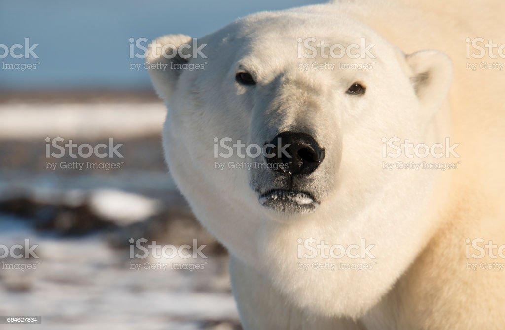 Male polar bear looking at camera man. stock photo