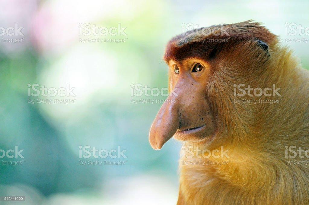 Male proboscis monkey in Sabah Borneo, Malaysia. stock photo