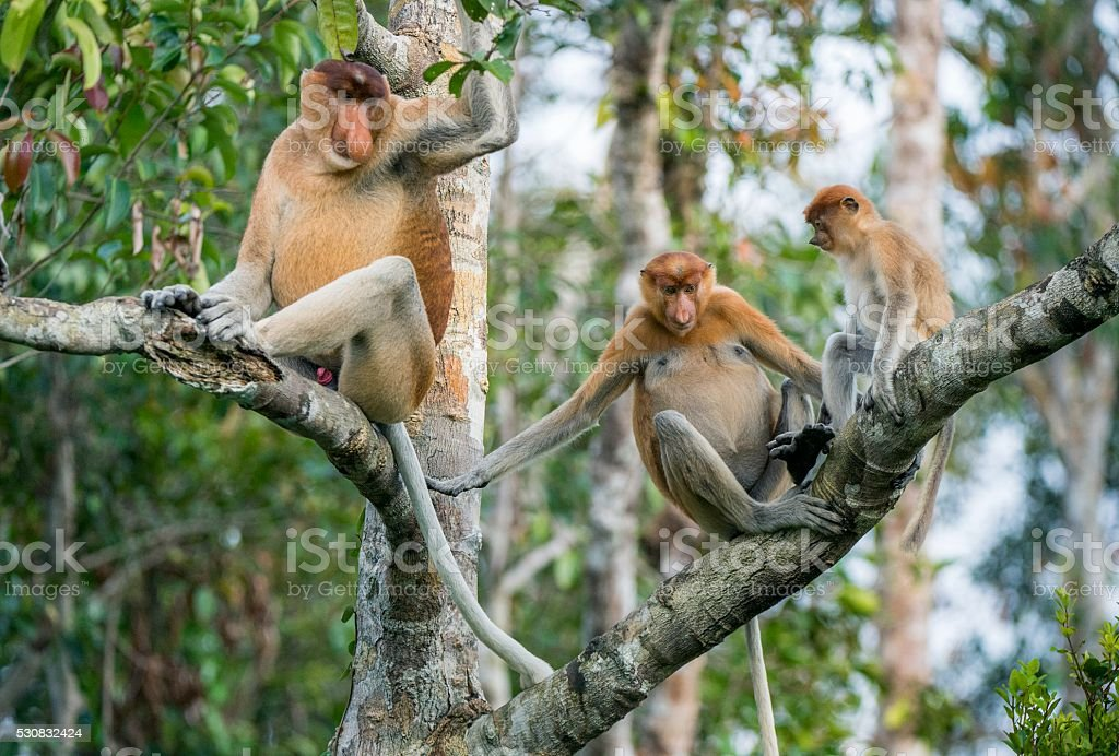 Male proboscis monkey of Borneo stock photo