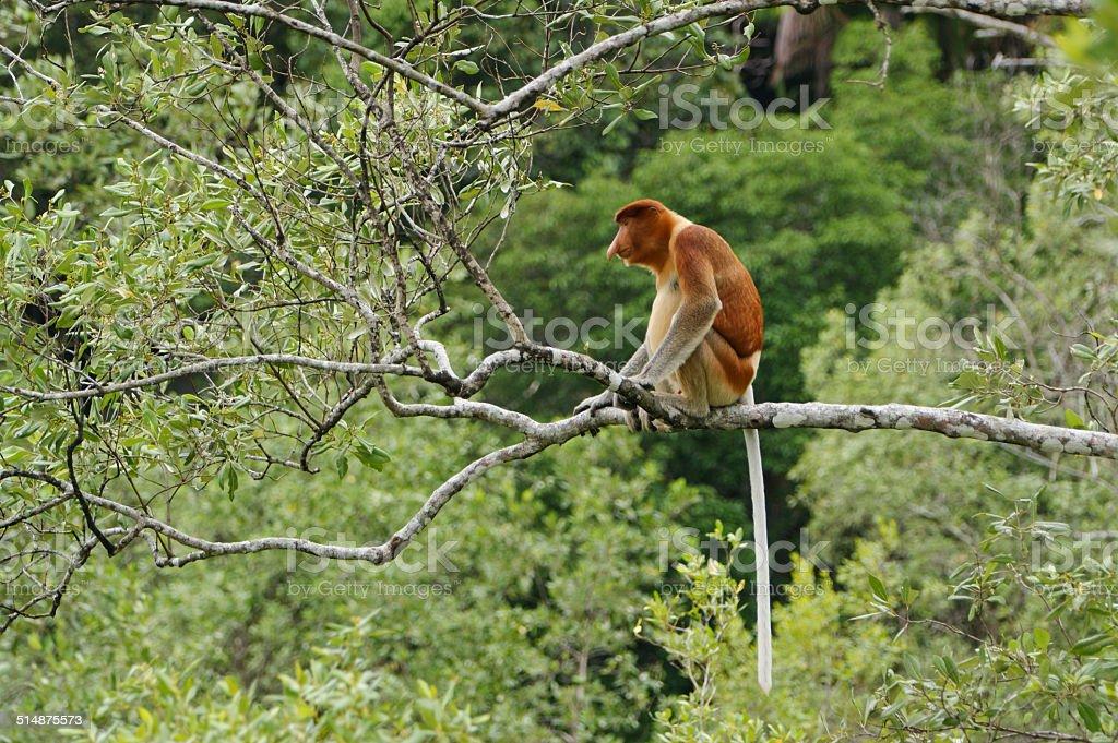 Male Proboscis Monkey stock photo