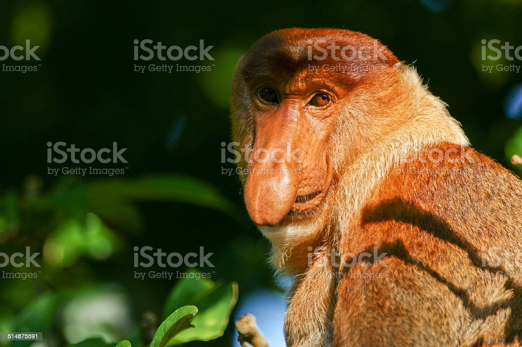 Male Proboscis Monkey stock photo