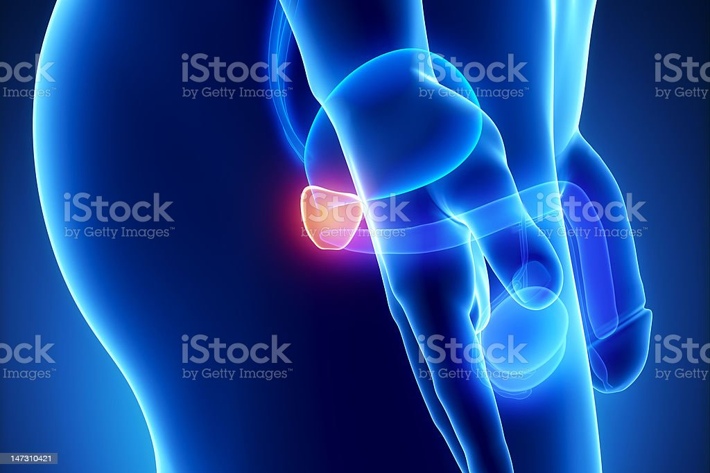 Male prostate anatomy lateral view stock photo
