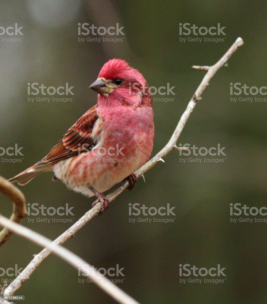 Male Purple Finch in winter stock photo