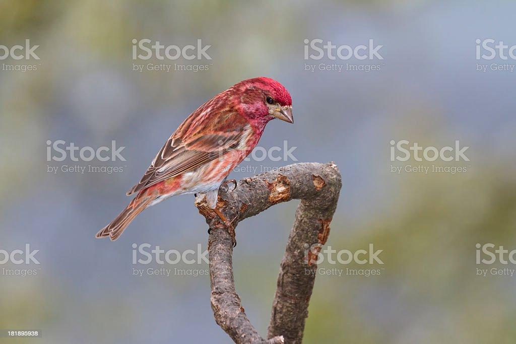 Male Purple Finch (Carpodacus purpureus) stock photo