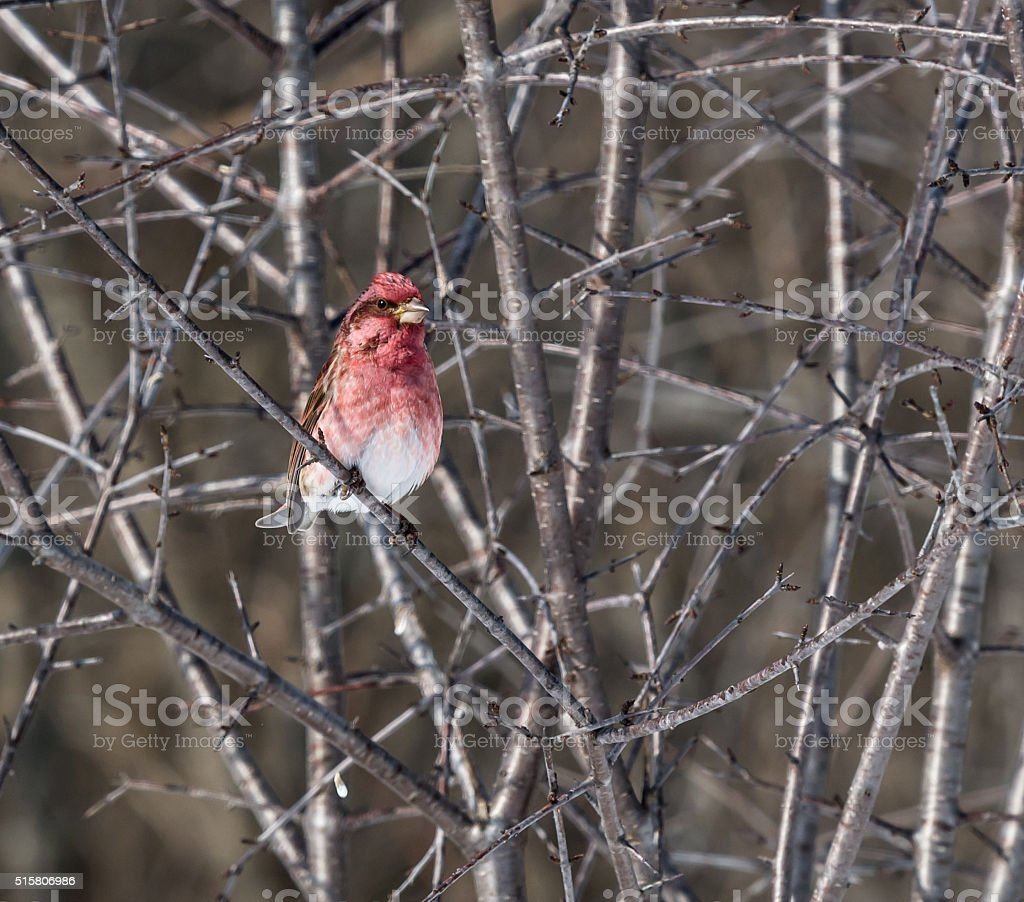 Male Purple Finch stock photo