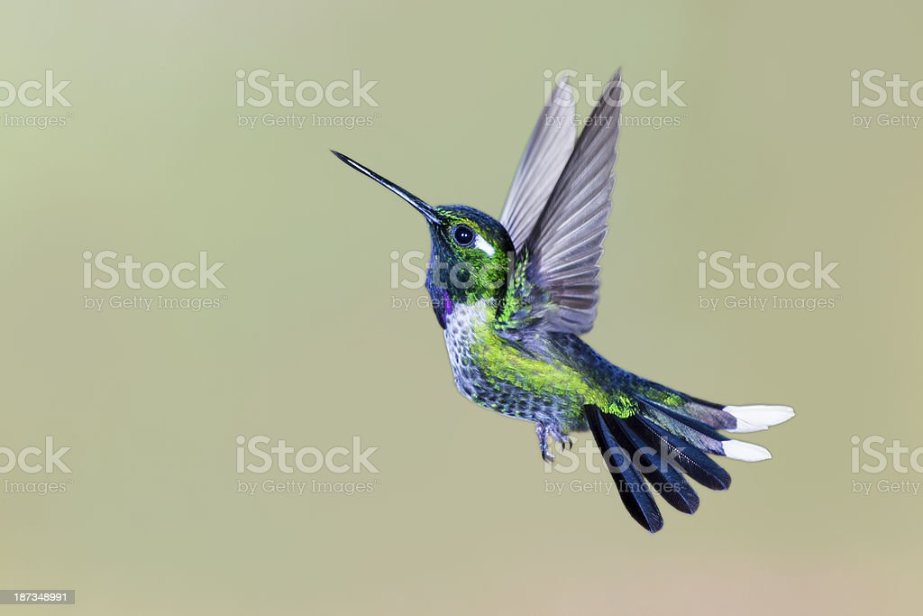 Male Purple-bibbed Whitetip Hummingbird with Wings Up stock photo