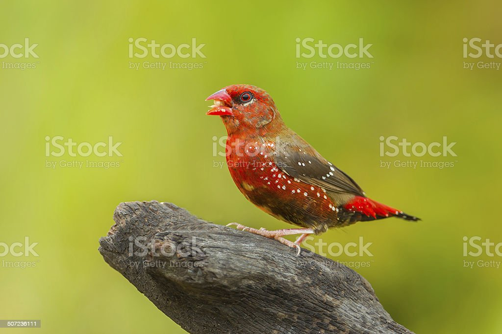 Male Red Avadavat stock photo