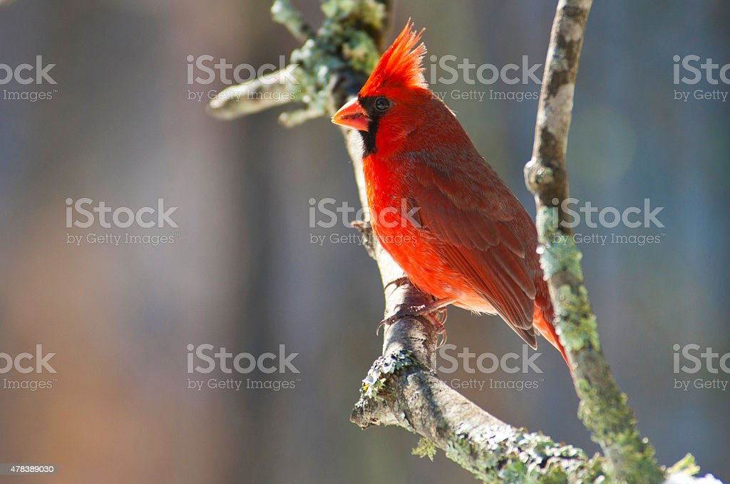 Male Red Cardinal sitting on a branch. stock photo