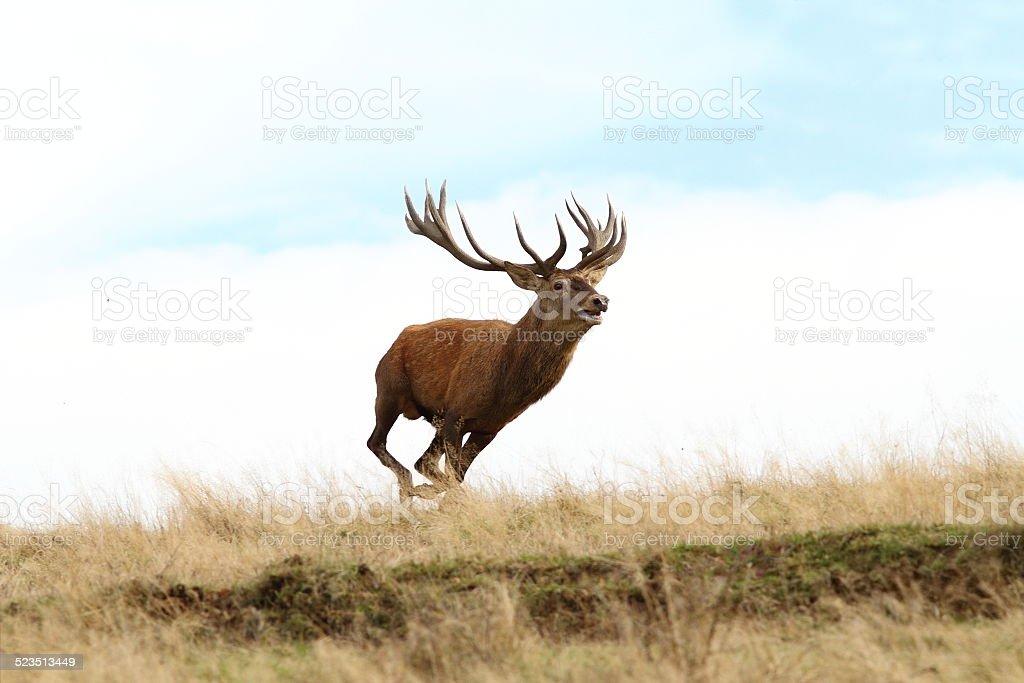 male red deer running wild stock photo