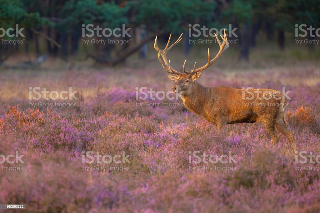 Male red deer with antlers stock photo